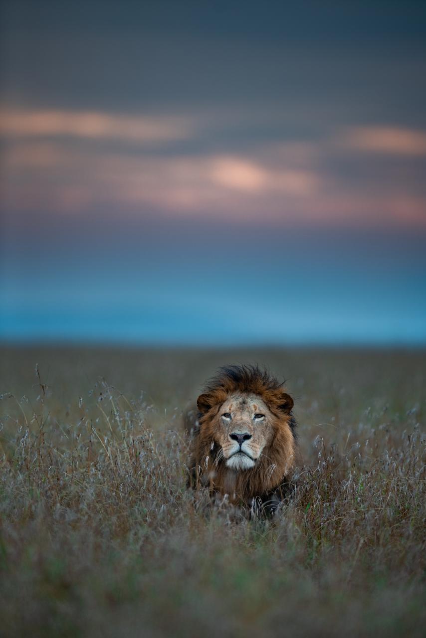 Male lion at Mara