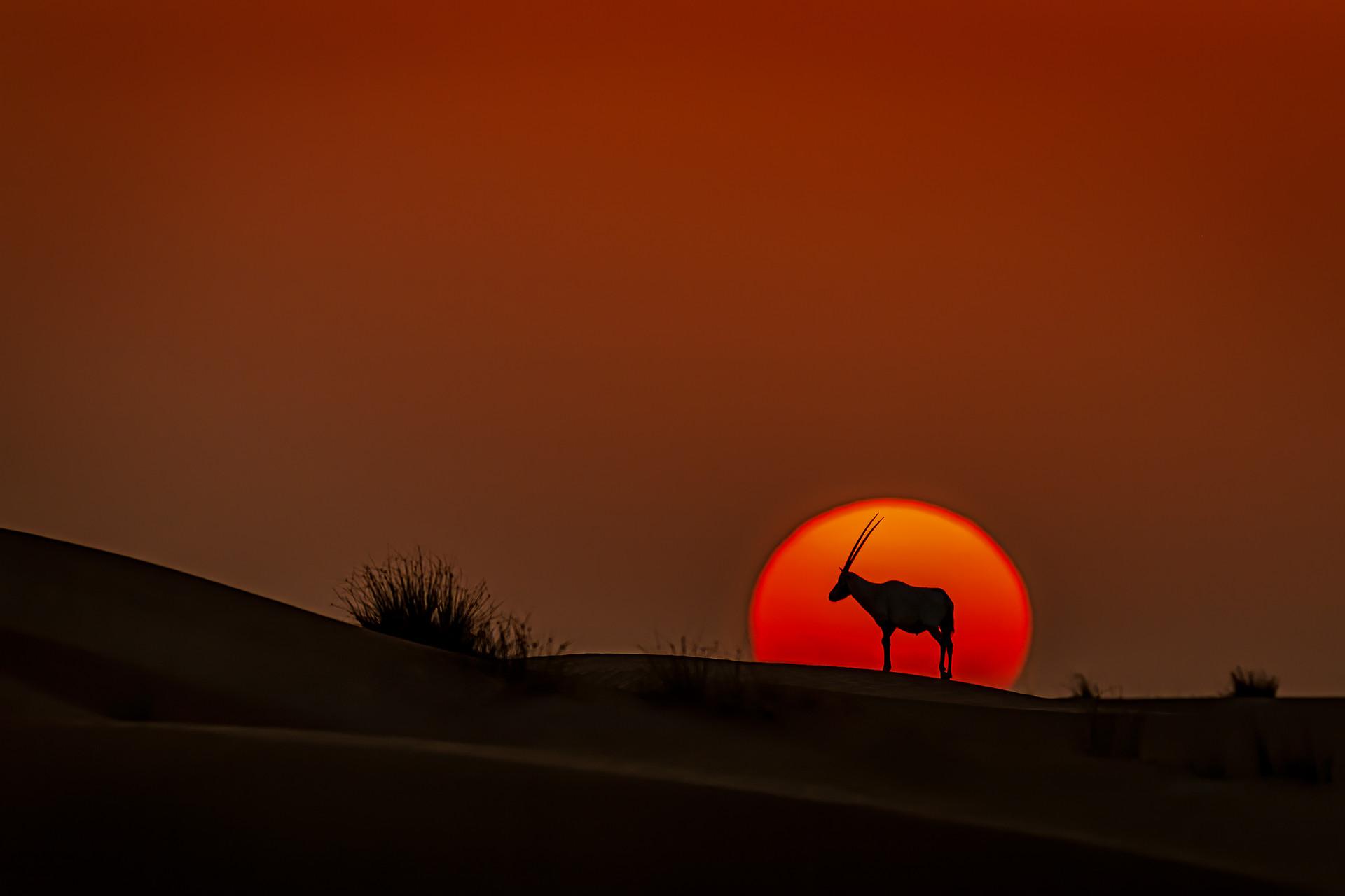 Oryx at Sunset