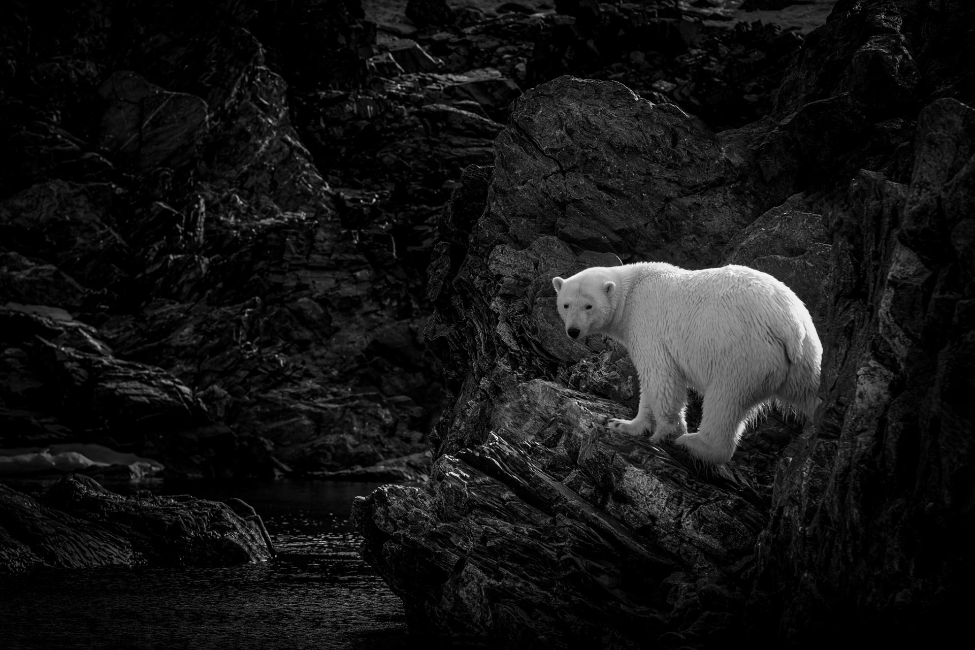 Polar Bear Backlit