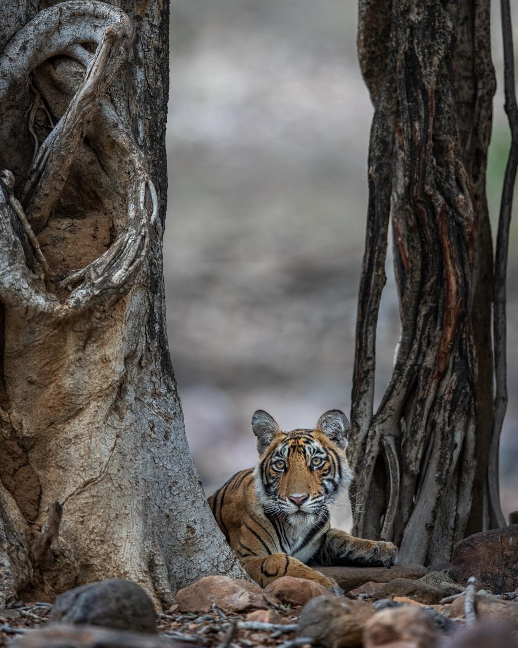 Tiger under tree