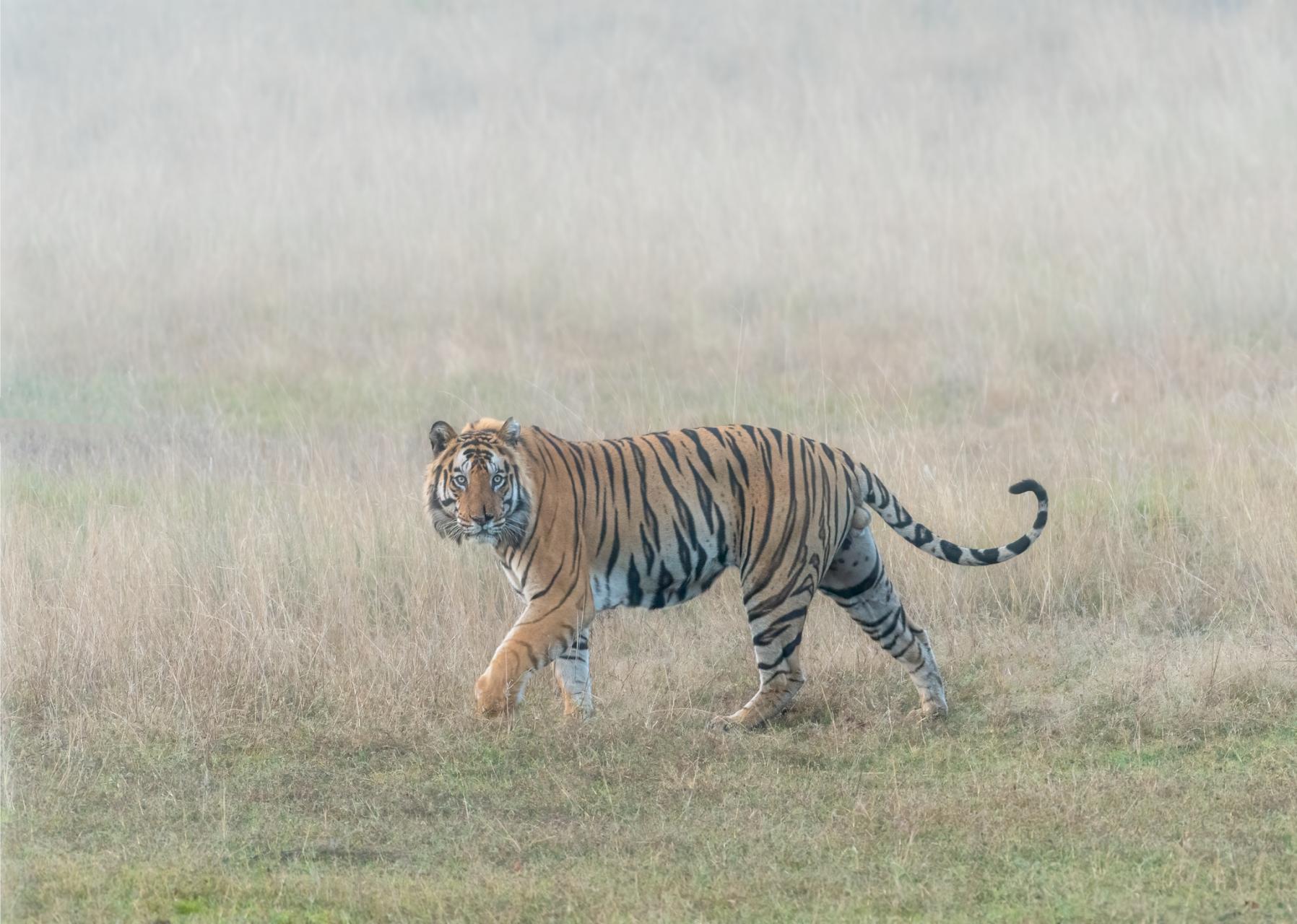 Tiger in Mist