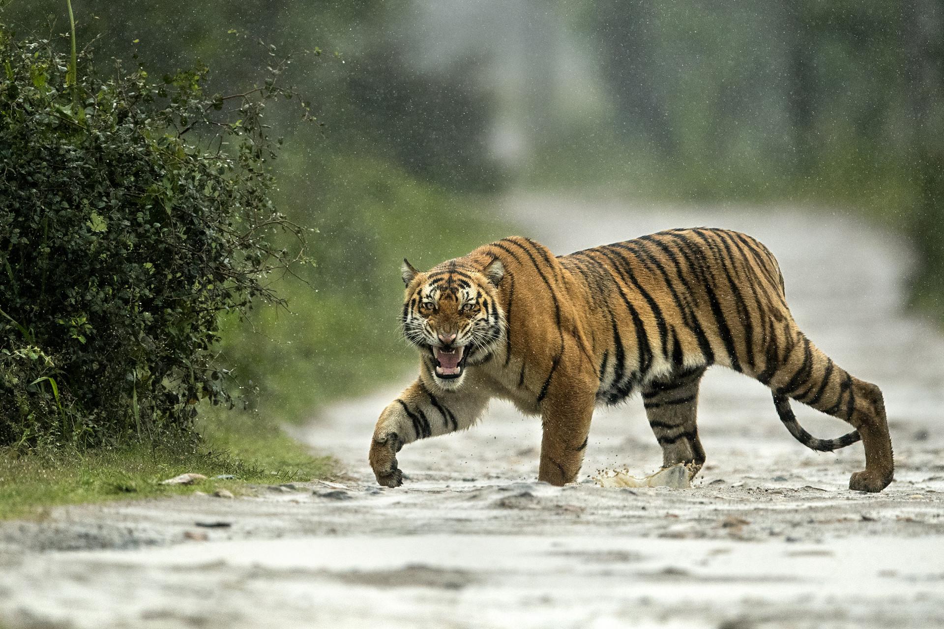 Tiger in Rain