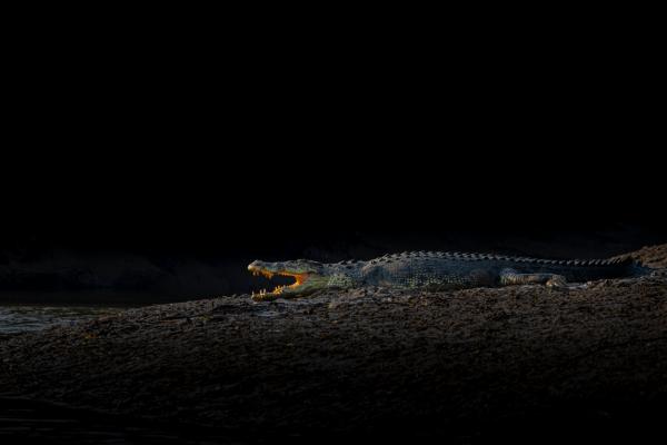 Crocodile basking