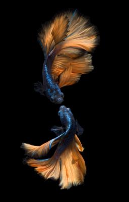 Golden Betta Fish