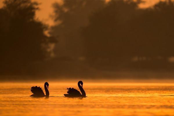 Black swan in golden light