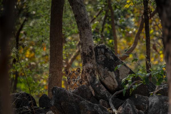 Peeping Tigers