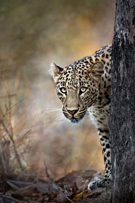 Peeping Leopard