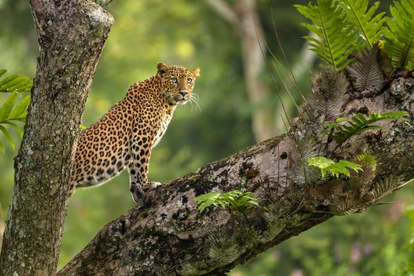 Leopard on Tree