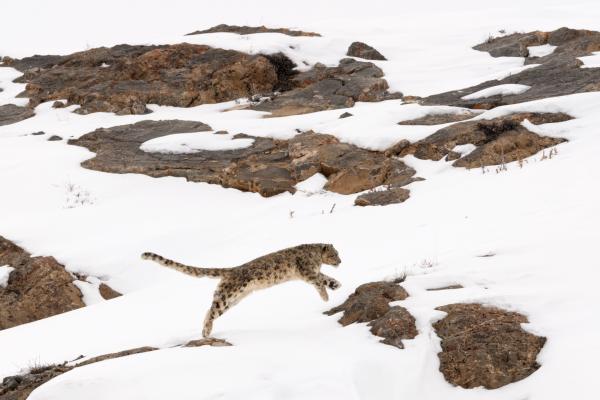 Snow leopard on run