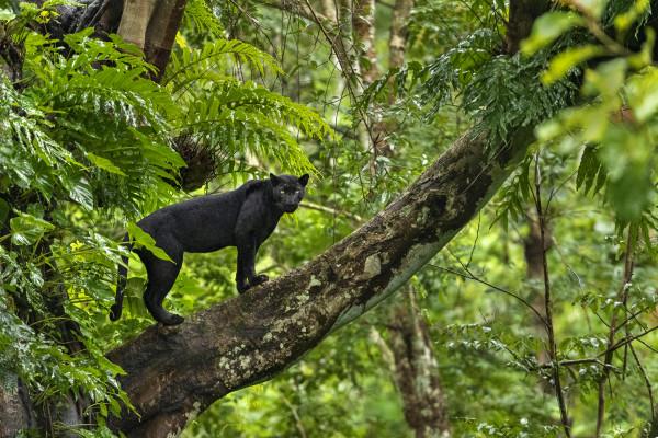 Black Panther on tree