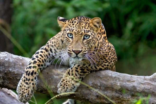 Leopard on log