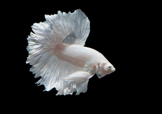 White Betta Fish