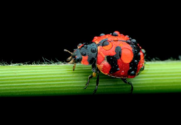 Lady bird beetle